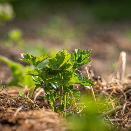 plant-in-no-till-garden